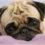 Pug Potty Training Tips and Tricks