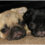 10 Helpful Tips from Pug Parents