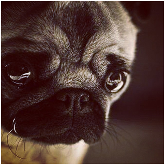 Puppy Crying At Night >> How To Train Your Pug Puppy Not To Cry At Night | Loves Pugs