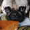 Best Dog Food For Pugs With Allergies