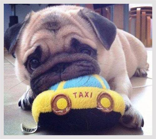 train-pug-puppy-not-to-bite.jpg
