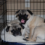 Crate Training For Pugs: 9 Important Steps To Be Taken