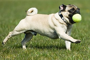 Pug Obedience Training: Tips To Keep Them In Control—At All Times!