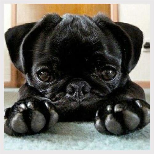 train-your-pug