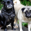 How to Adopt Or Rescue Adult Pugs