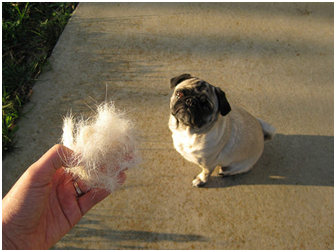7 Tried And Tested Tips To Minimize Pug Shedding At Home