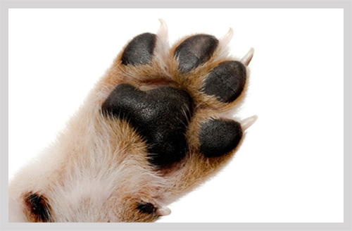 pug paws pug foot inflammation causes treatment and prevention 6494